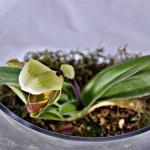 Slipper Orchid terrarium